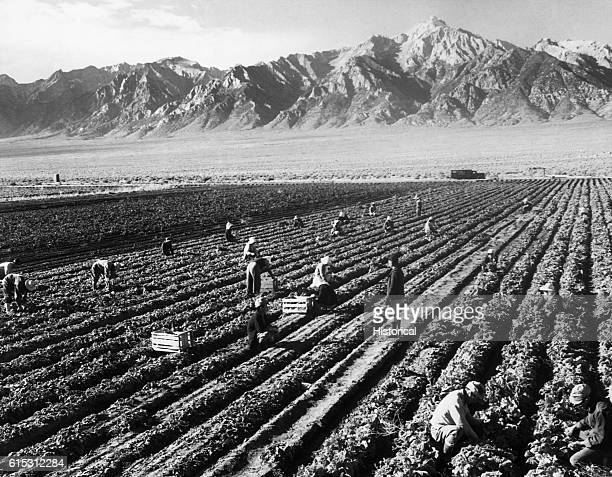 JapaneseAmerican Internees Farming at Manzanar
