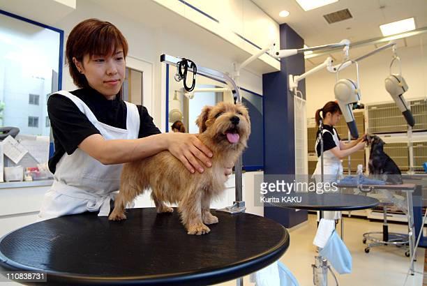 Japan'S Craze For Small Dogs In Japan In September , 2004 - Dog's Care Joker at Roppongi Hills in Tokyo - Norfolk Terrier gets massage from dog...