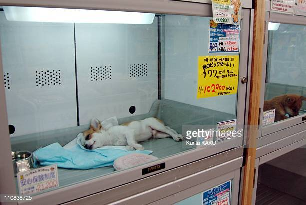 Japan'S Craze For Small Dogs In Japan In September 2004 The most popular chilhuahua dog at the pet shop this chilhua hua is sold at 102900 yen