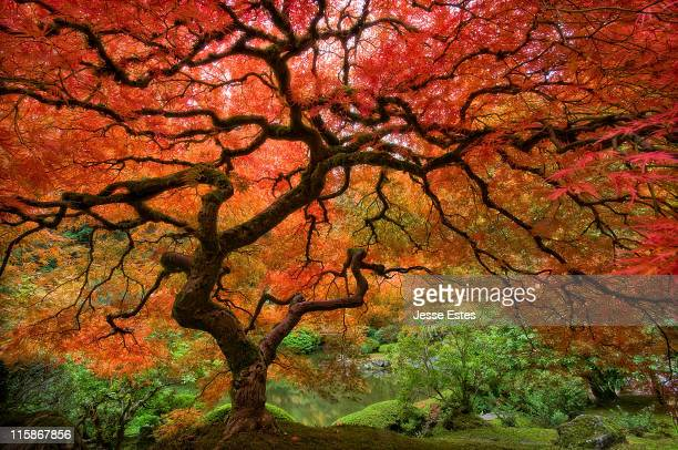 japenese garden, portland - japanese garden stock photos and pictures