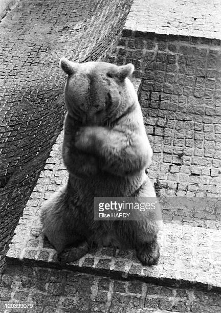 Jardin des Plantes in Paris France in 1992 Bear of the menagerie