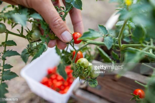 jardin - récolte de tomates cerises - cherry tomato stock pictures, royalty-free photos & images