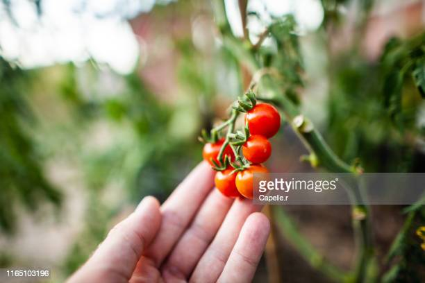 jardinage - cueillir une tomate cerise - tomato harvest stock pictures, royalty-free photos & images