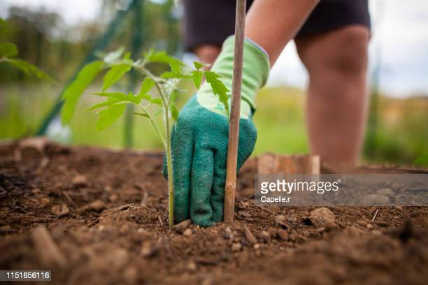 jardinage - plants de tomate - cultivated stock pictures, royalty-free photos & images
