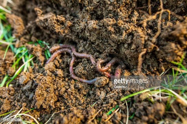 jardiner - ver de terre - earthworm stock pictures, royalty-free photos & images