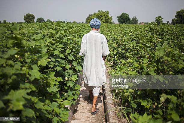 Jarnail Singh a retired teacher and farmer, walks through a cotton field that has been sprayed with pesticides on his farm in Jajjal village, Punjab,...