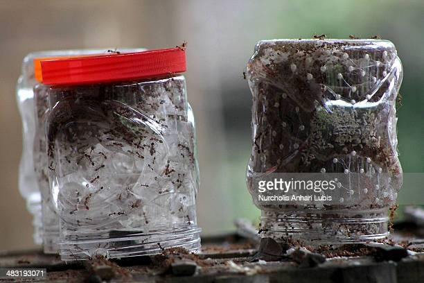 Jars containing the ants are left upside down on April 5 2014 in Bogor Indonesia Breeders use jars for ant cage The jar can accommodate ant colony...