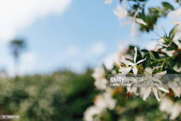 jasmin flowers on a bush - jasmin bildbanksfoton och bilder
