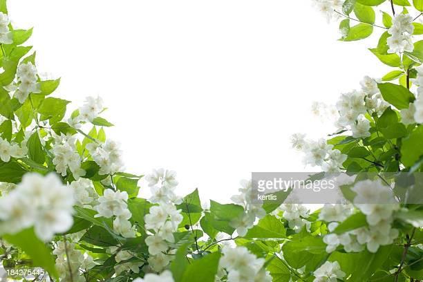 jasmin  - white flowers - jasmine stock photos and pictures
