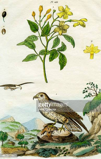 Jasmine and Shorttoed Eagle 18th or 19th century