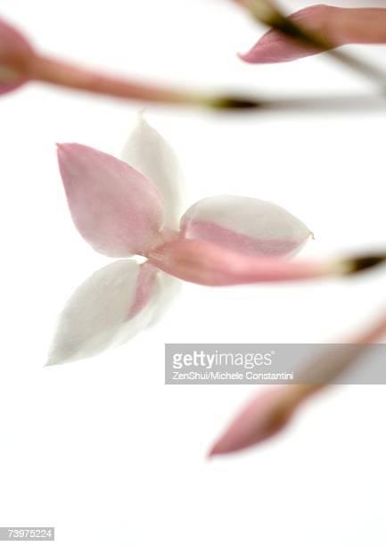 Jasmine blossom, close-up