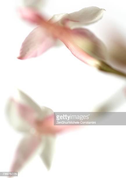 jasmine blossoms, close-up - jasmin bildbanksfoton och bilder