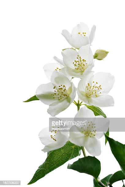 jasmine blossoms - jasmine flower stock pictures, royalty-free photos & images