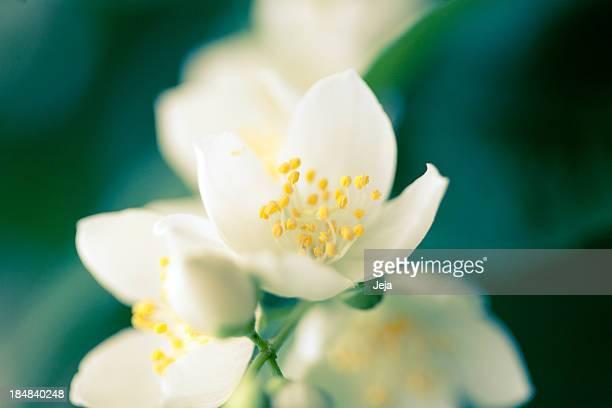 jasmine flower - jasmine stock photos and pictures