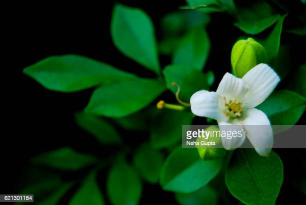 jasmine flower - neha gupta stock pictures, royalty-free photos & images