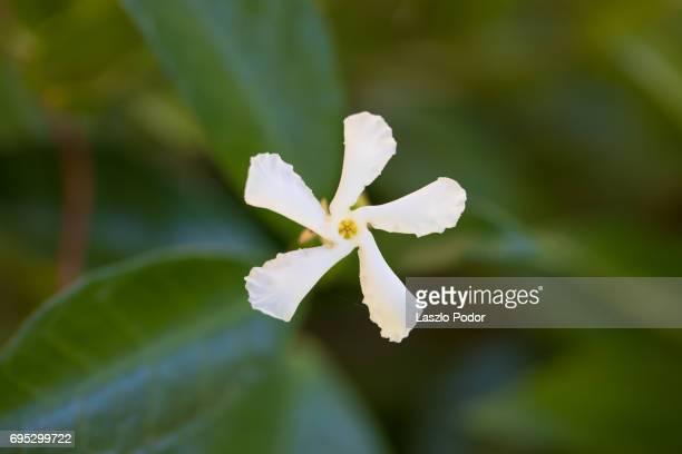 jasmine flower - jasmine flower stock pictures, royalty-free photos & images