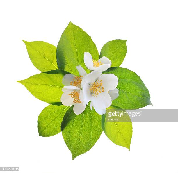 jasmine flowers and leaves - jasmine flower stock pictures, royalty-free photos & images