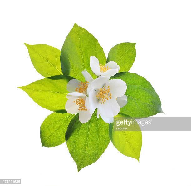 Des fleurs de jasmin et feuilles