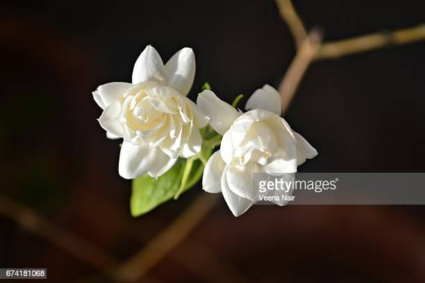 jasmine flowers in the home garden - jasmine stock photos and pictures