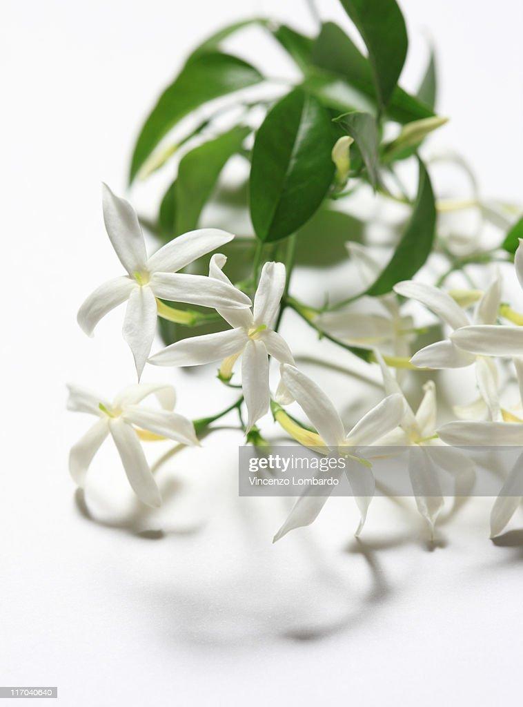 Доставка цветов, цветы жасмин купить в набережных челнах