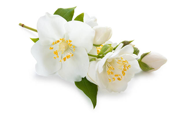 Free single flower white background images pictures and royalty jasmine flowers on white background mightylinksfo Images