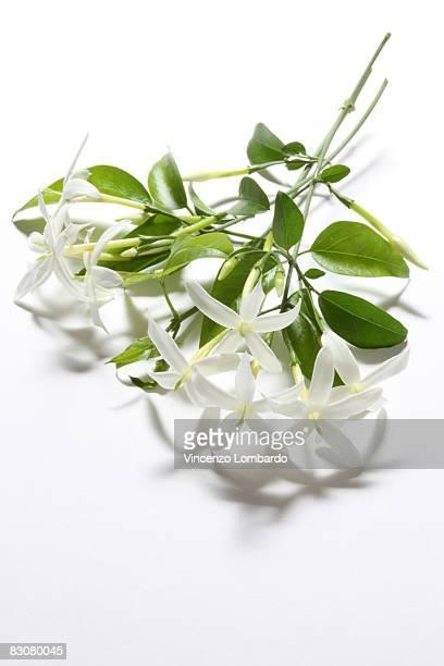 Jasmine Flowers on White Background.