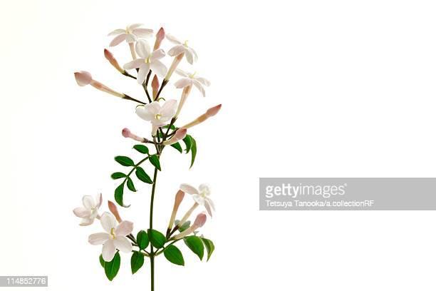 jasmine flowers - jasmine flower stock pictures, royalty-free photos & images