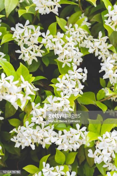 jasmine in bloom - jasmine stock photos and pictures