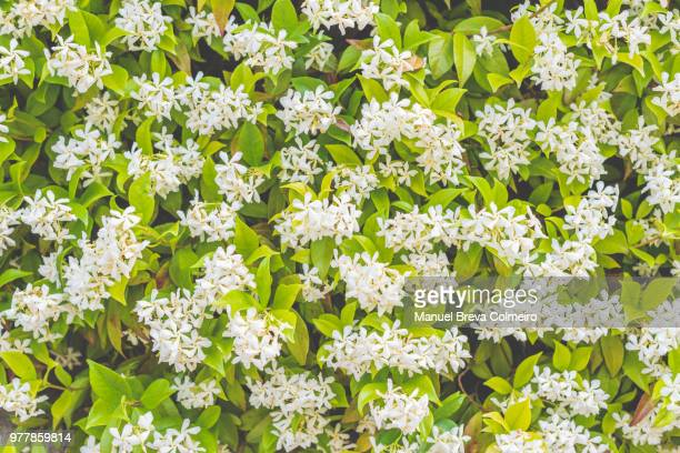 jasmine in bloom - jasmine flower stock pictures, royalty-free photos & images