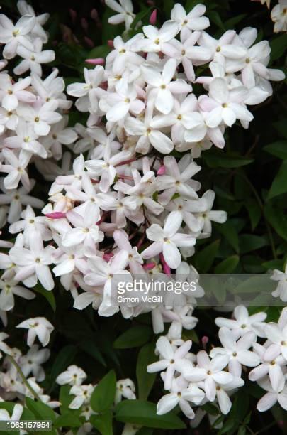 jasmine (jasminum officinale) in flower - jasmine stock photos and pictures