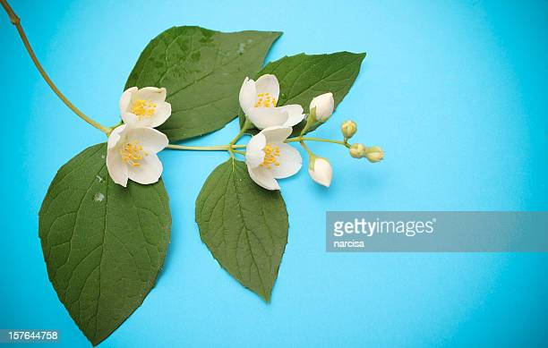 jasmine - jasmine flower stock pictures, royalty-free photos & images