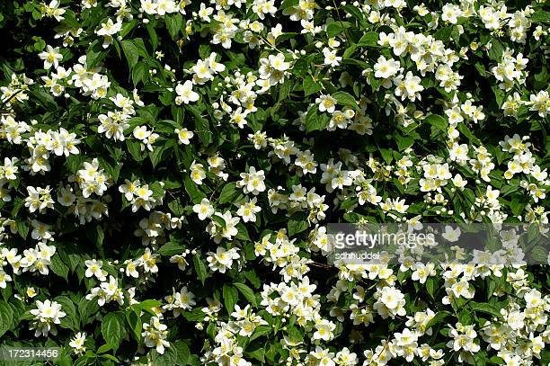 jasmin - jasmine flower stock pictures, royalty-free photos & images