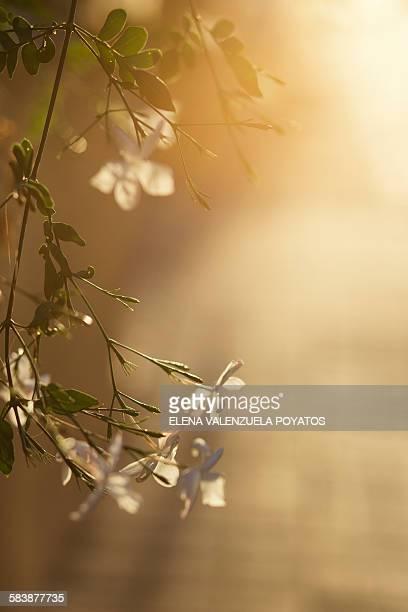 jasmine - elena blume stock-fotos und bilder