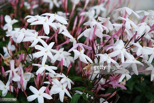 jasmine vines - jasmine flower stock pictures, royalty-free photos & images