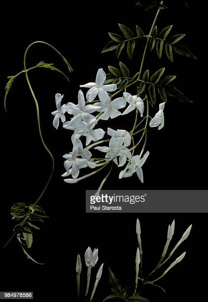 jasminum polyanthum (many-flowered jasmine, pink jasmine) - jasmin bildbanksfoton och bilder