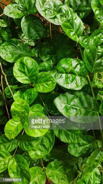 jasminum sambac - jasmin bildbanksfoton och bilder