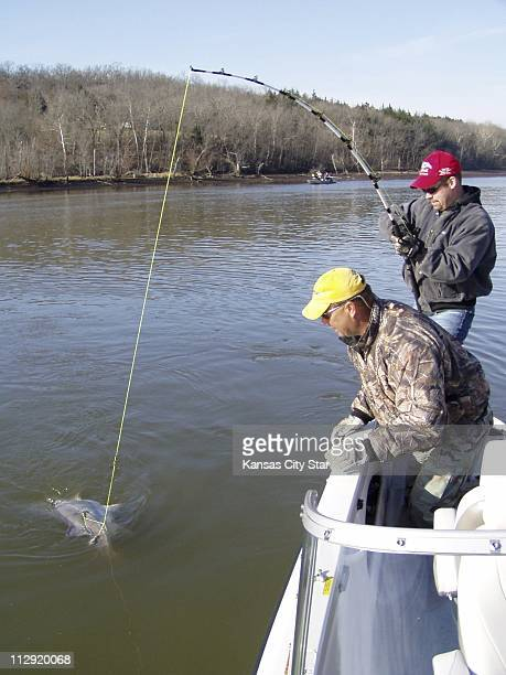 Jason Reynolds right pulls a trophy paddlefish to the surface at Lake of the Ozarks Missouri as guide Steve Brown waits to lift it into the boat...