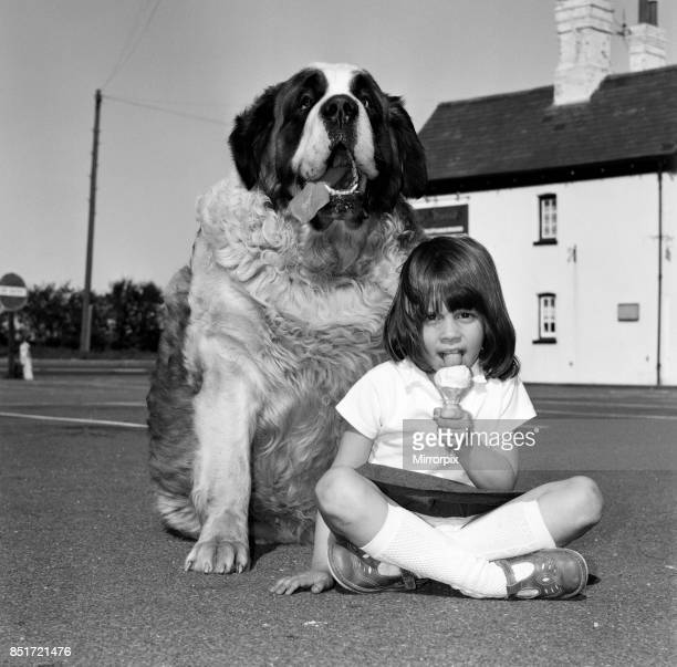 Jason the St Bernard is a contender for the Heaviest Dog in Britain his owner's six year old granddaughter Rachel is pictured with Jason 18th May 1980