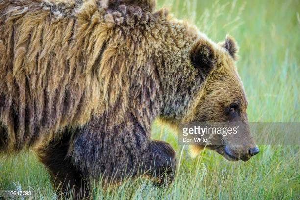 parque nacional jasper, en alberta canadá - omnívoro fotografías e imágenes de stock