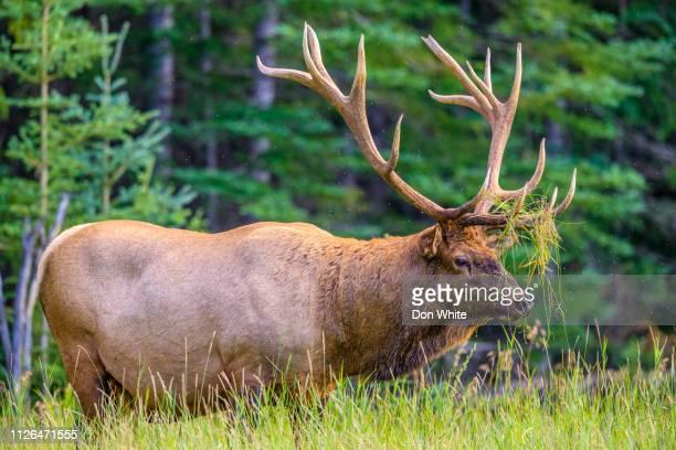 jasper national park in alberta canada - cervo maschio foto e immagini stock