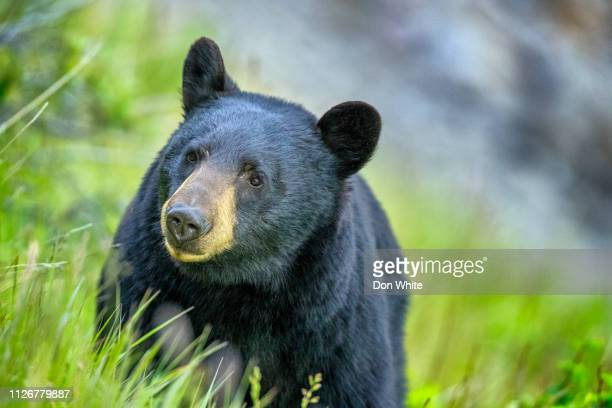 6 865 Black Bear Photos And Premium High Res Pictures Getty Images