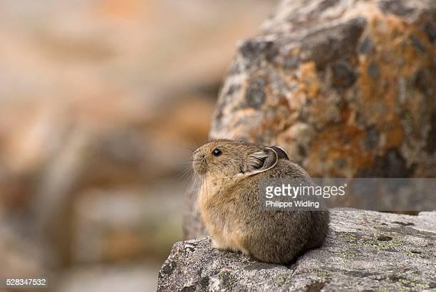 jasper national park, jasper, alberta, canada; pika (ochotonidae) - pika stock pictures, royalty-free photos & images