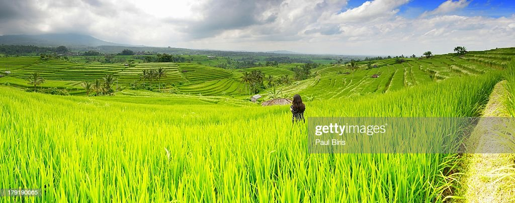 Jatiluwih Rice Fields : Stock Photo