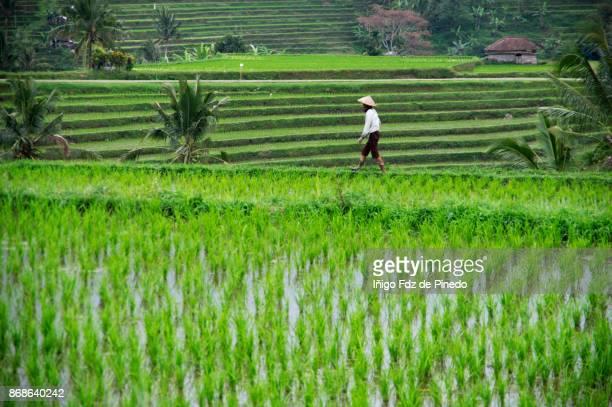 Jatiluwih rice terrace - Jatiluwih - Bali- Indonesia