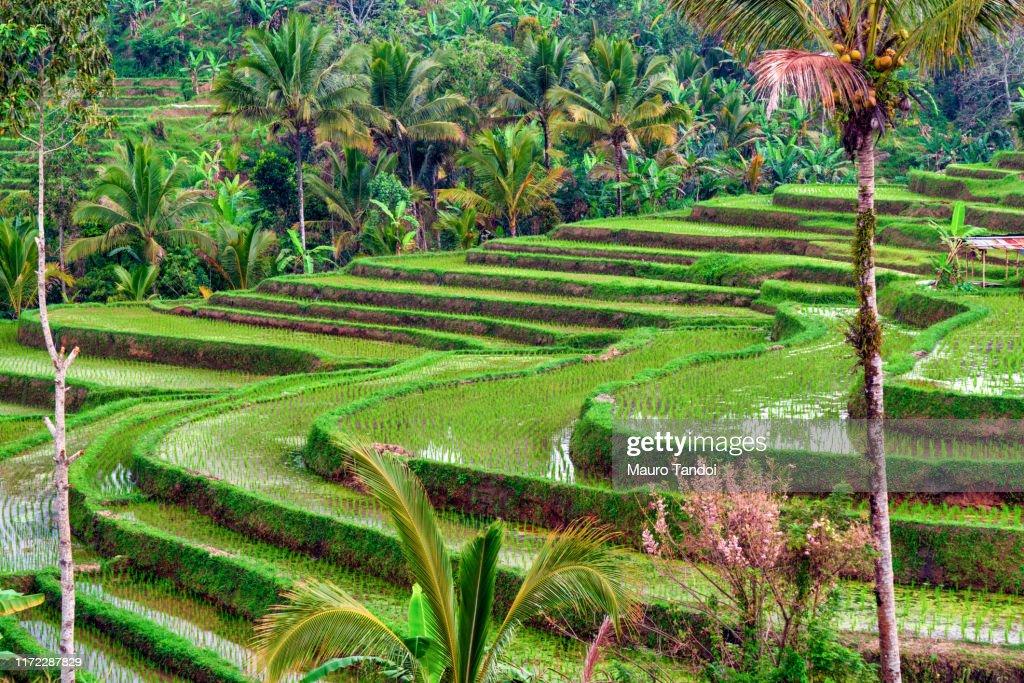 Jatiluwih the biggest rice terraces landmarks in Bali : Foto stock