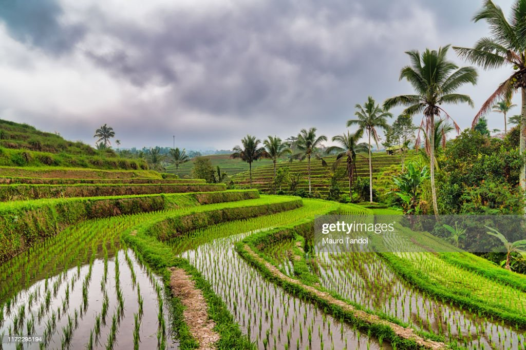 Jatiluwih the biggest rice terraces landmarks in Bali : Foto stock