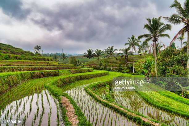 jatiluwih the biggest rice terraces landmarks in bali - mauro tandoi stock photos and pictures