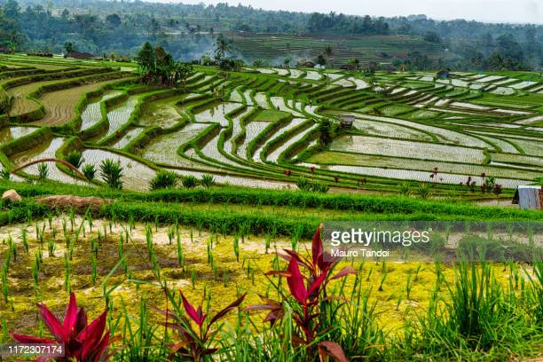 jatiluwih the biggest rice terraces landmarks in bali - mauro tandoi foto e immagini stock
