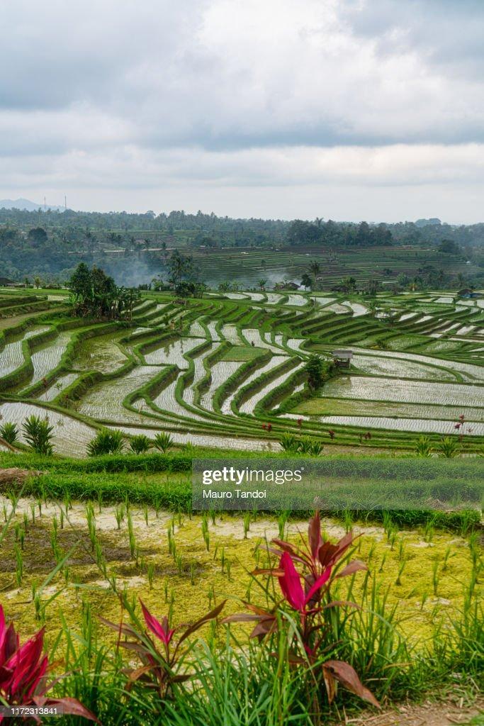 Jatiluwih the biggest rice terraces landmarks in Bali : Stock Photo