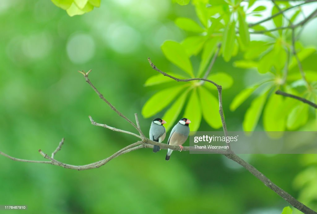 Java Sparrow Lonchura Oryzivora Beautiful Bird In Thailand High Res Stock Photo Getty Images
